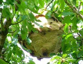 photo d'un nid de frelons asiatiques