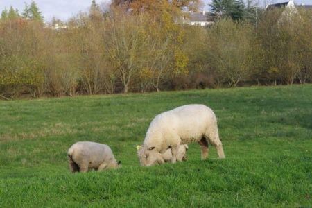 moutons-imgp2775